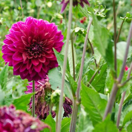 pink dahlia in bloom, Nikon D7100, AF Zoom-Nikkor 35-135mm f/3.5-4.5 N