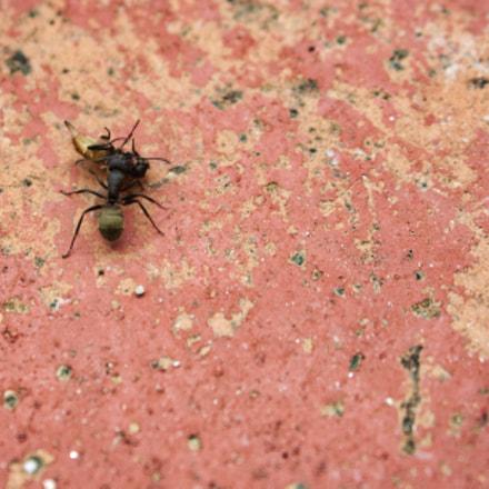 black ant with dead, Nikon D7100, AF Zoom-Nikkor 35-135mm f/3.5-4.5 N