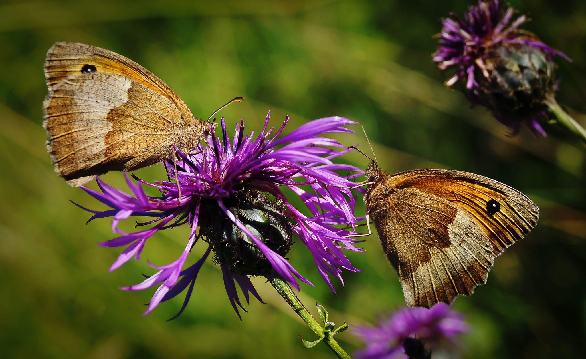 Photograph Butterfly x 2 by Ralf Bessoth on 500px