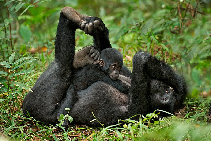 Mountain Gorilla Mother and Baby by Sean Crane on 500px.com