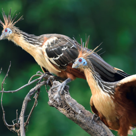 Stinkbirds, Nikon D500, AF-S Nikkor 300mm f/4E PF ED VR