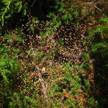 Spider line on juniper, Canon POWERSHOT A580