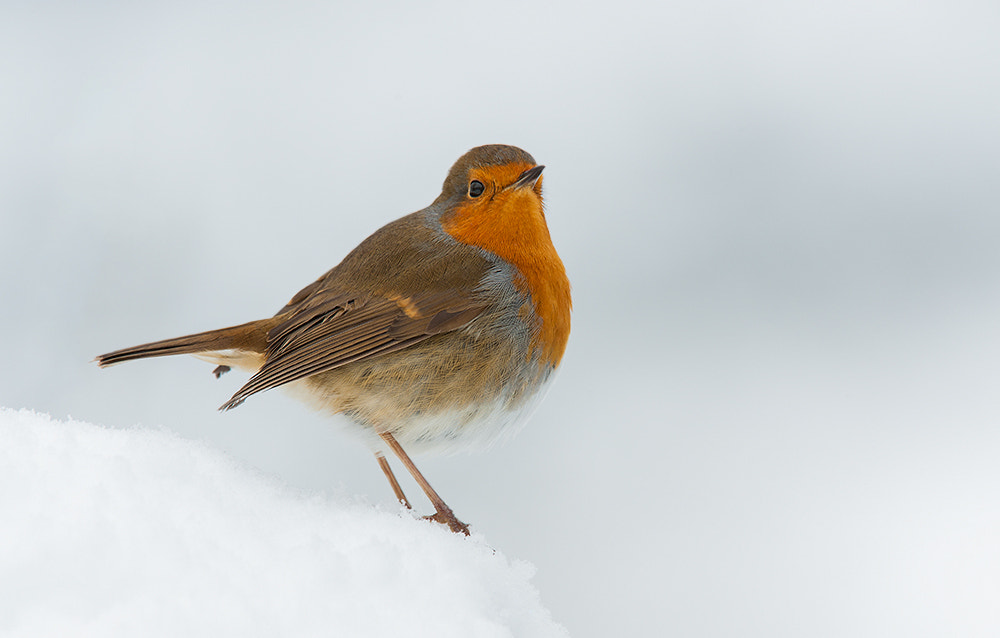 Photograph Robin in snow by Geoffrey Baker on 500px