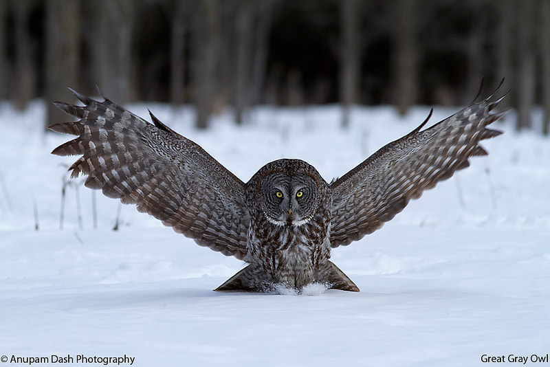 Photograph The Hooter's Hunt!! by Anupam Dash on 500px