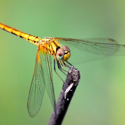Orange dragonfly, Nikon D7200, AF-S Nikkor 300mm f/4E PF ED VR