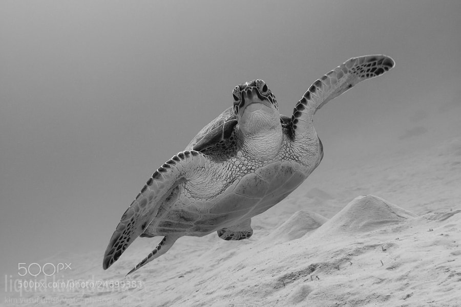 Photograph Green sea turtle b/w by Kim Yusuf on 500px