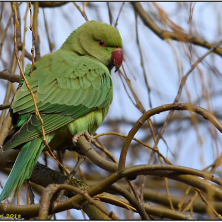 Rose Ring Necked Parakeet, Nikon D7200, Sigma APO 300mm F2.8 EX DG HSM