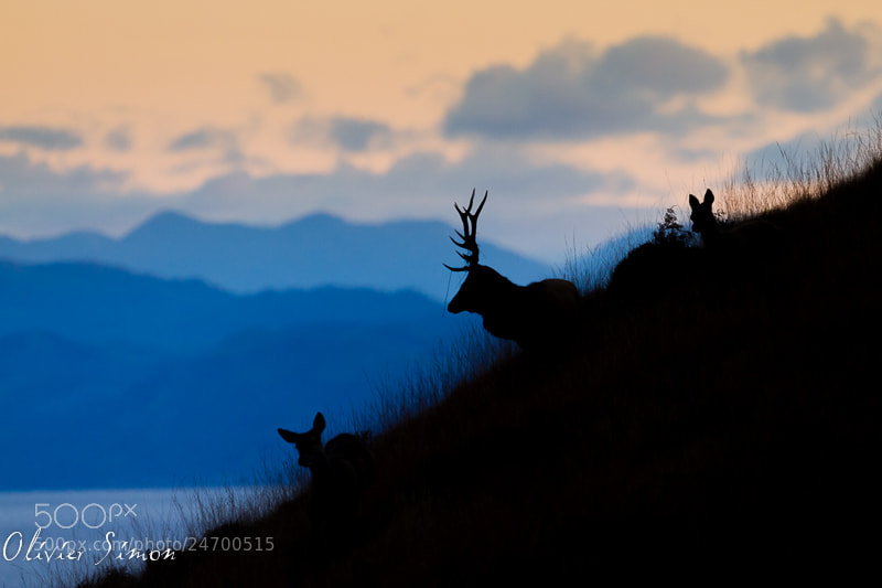 Photograph Deers in Inner Hebrides by Olivier SIMON on 500px
