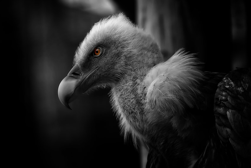 """Photograph """"deep black vulture"""" by Johnny Brambach on 500px"""