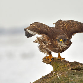 Angry bird by Zoltan Hagen (r6matyi)) on 500px.com