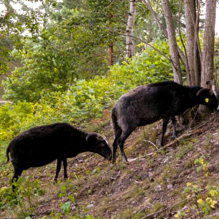 Two black sheep grazing, Nikon E5700