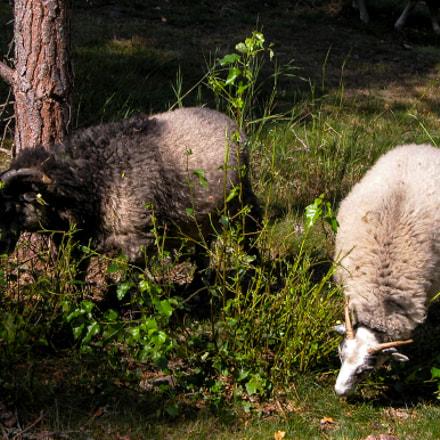 Two sheep grazing grass., Nikon E5700