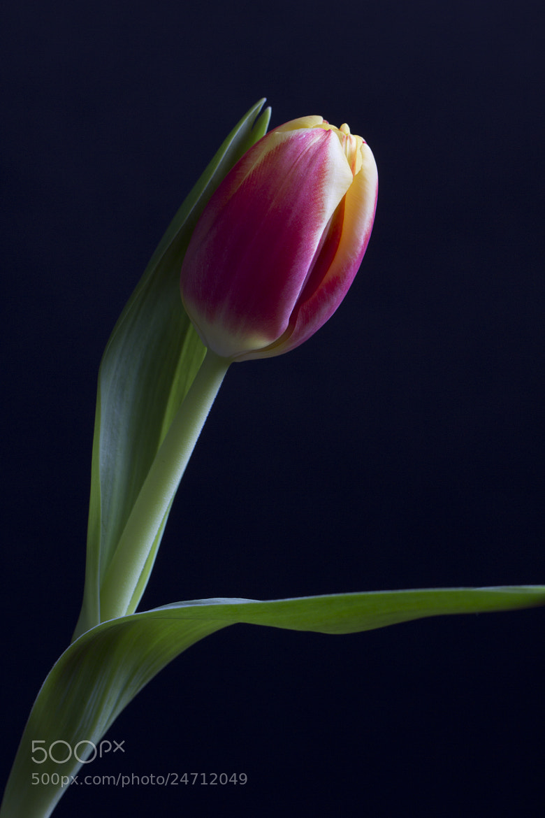 Photograph Dutch Tulip I by Jino   on 500px