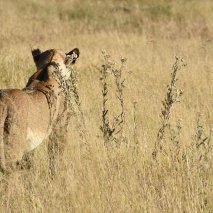 Lioness, Nikon D7200, AF Zoom-Nikkor 70-300mm f/4-5.6D ED