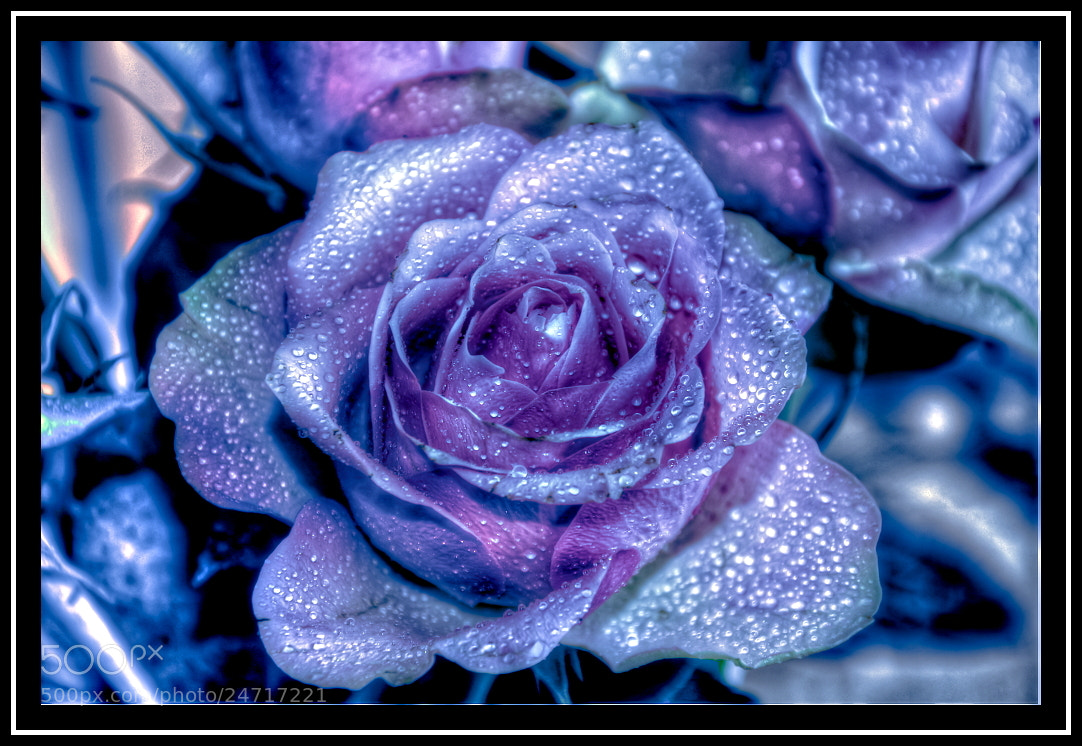 Photograph Blue Rose by Sebastian Grabowski on 500px