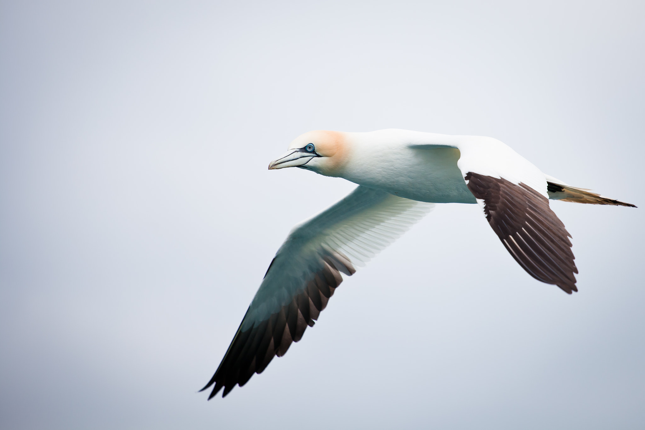 Photograph Gannet in flight by Andrew Johns on 500px