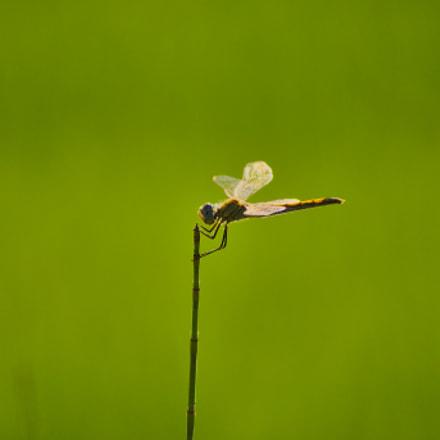 Dragonfly, Nikon D90, AF-S DX VR Zoom-Nikkor 55-200mm f/4-5.6G IF-ED