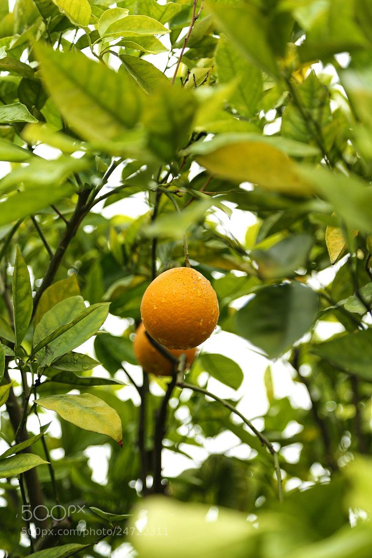 Photograph Orange Tree by J Taylor on 500px