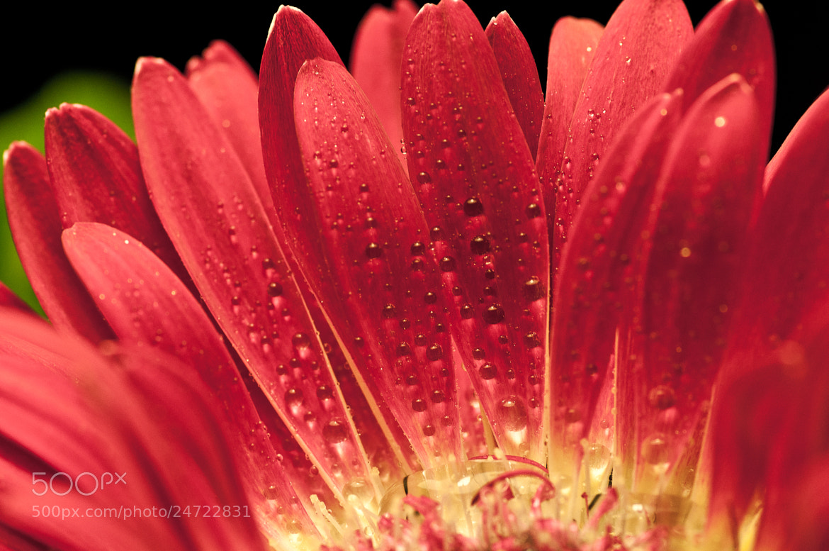 Photograph droplets on daisy by LiangJin Lim on 500px
