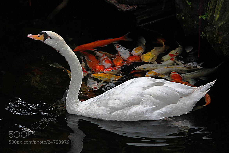 Photograph Swan & Koie by jughnguevarra on 500px
