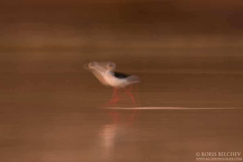 Photograph Black-winged Stilt at dusk. by Boris Belchev on 500px