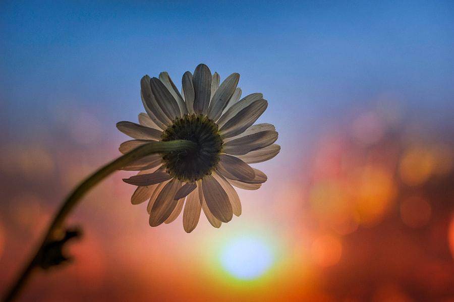 Flower and sunset, автор — Vega  на 500px.com