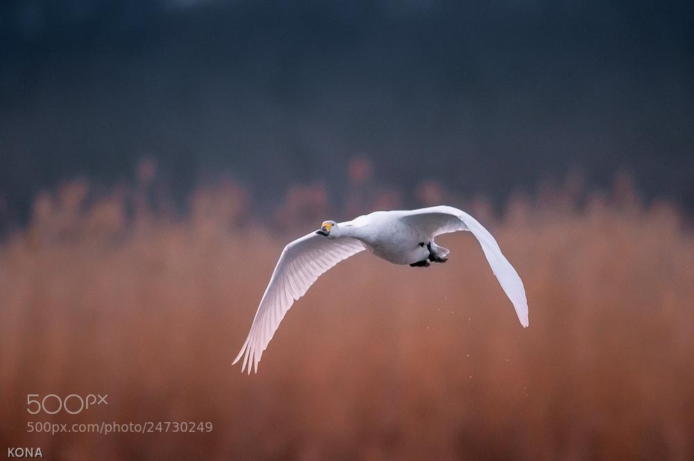 Photograph 菅生沼の白鳥 by Toru Kona on 500px