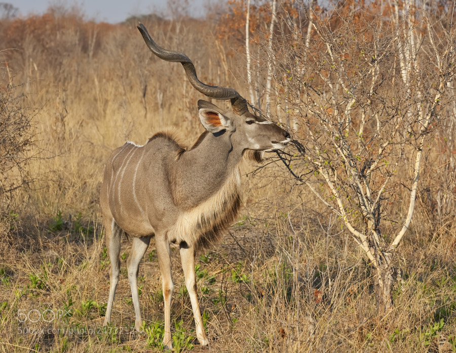 We go to Hwange because it is such a marvelous place and can provide such good oppurtunities, this year we got not only great Elephants ( you cannot really fail) but remarkable Kudu.