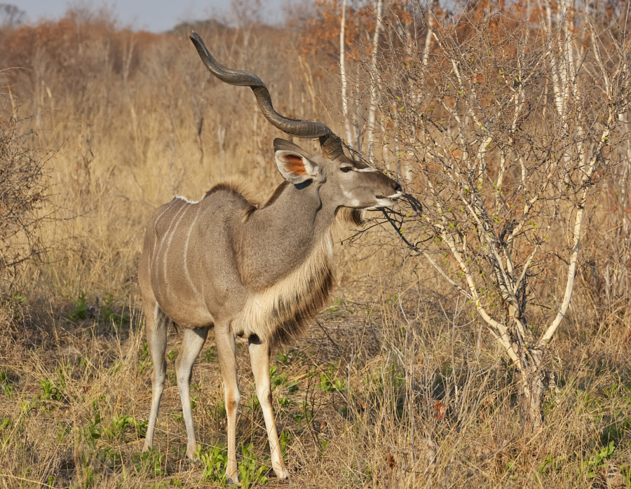 We go to Hwange because it is such a marvelous place and can provide such good oppurtunities, this year we got not only great Elephants ( you cannot really fail) but remarkable Kudu. This was taken just off theroad between Main Camp and Nhweshla, 6th september 2011
