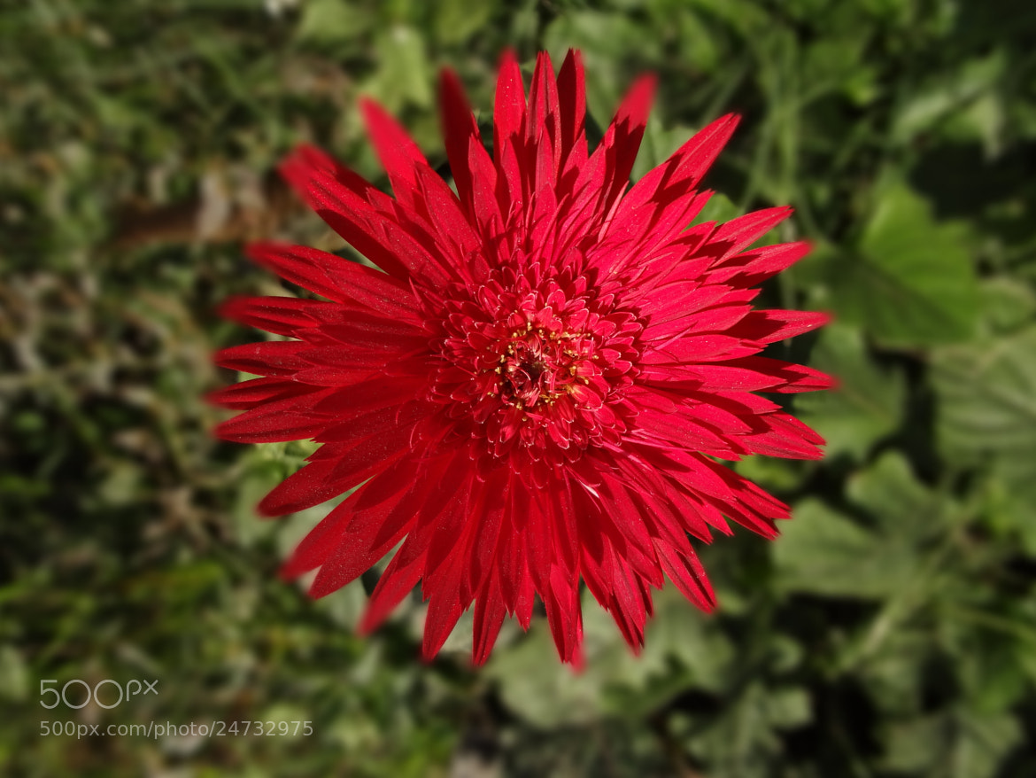 Photograph Gerbera by Raghavendra Kumar Pande on 500px