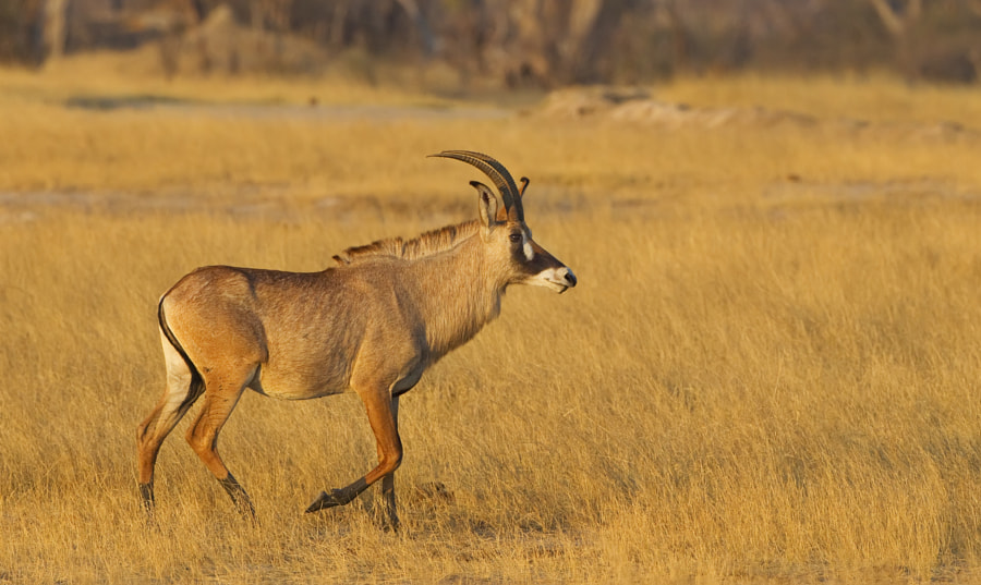 Another fine reason to visit Hwange is this fine Roan, seen here strolling aceoss Ngweshla Plains, 2nd September 2011.