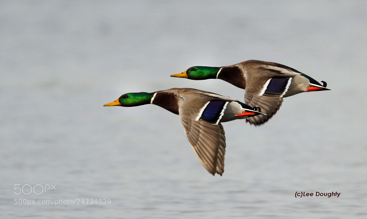 Photograph Mallards in flight. by Lee Doughty on 500px
