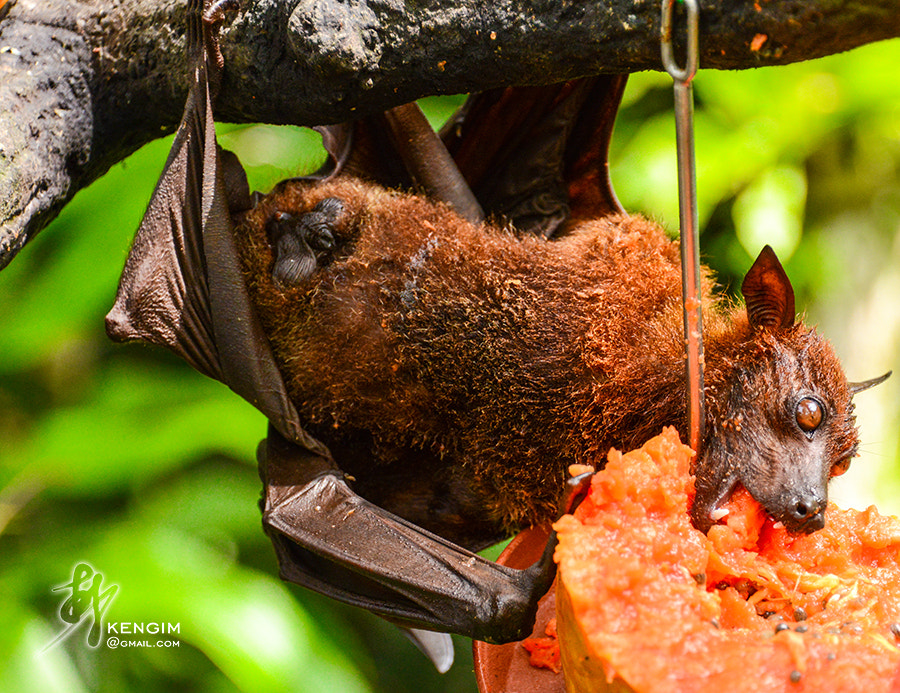 Photograph Bat eating by Ken Gim Seng Chye on 500px