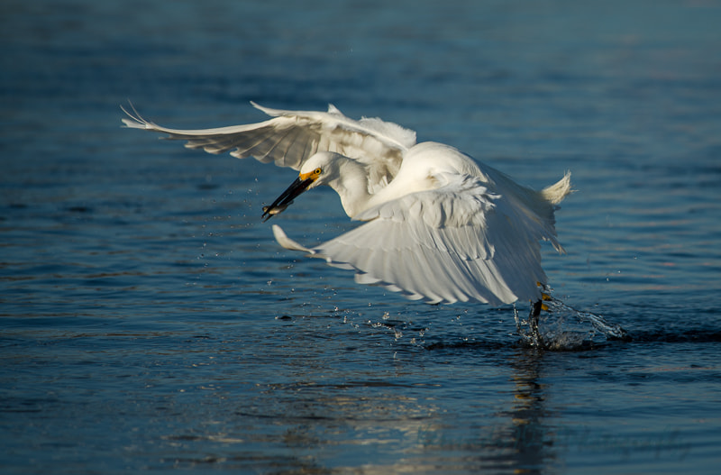 Photograph Fishing Egret by Wendy Kennedy on 500px