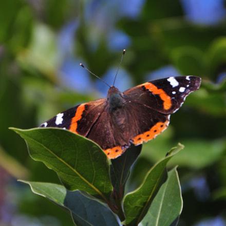 Butterfly, Nikon D90, AF-S DX VR Zoom-Nikkor 18-200mm f/3.5-5.6G IF-ED
