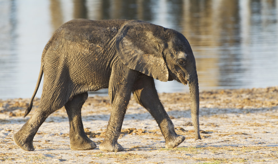 Sorry for all of these Elephants, bt who can resist them. This youngster strolled past us at Ngweska Waterhole whilst we were having our afternnon session on camp chairs. Hwange, Zimbabwe, 2nd September 2011