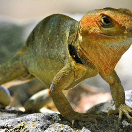 Pristidactylus torquatus macho, Nikon D7100, AF Nikkor 300mm f/4 IF-ED
