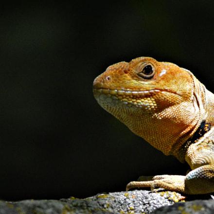 Pristidactylus torquatus macho, Nikon D7100