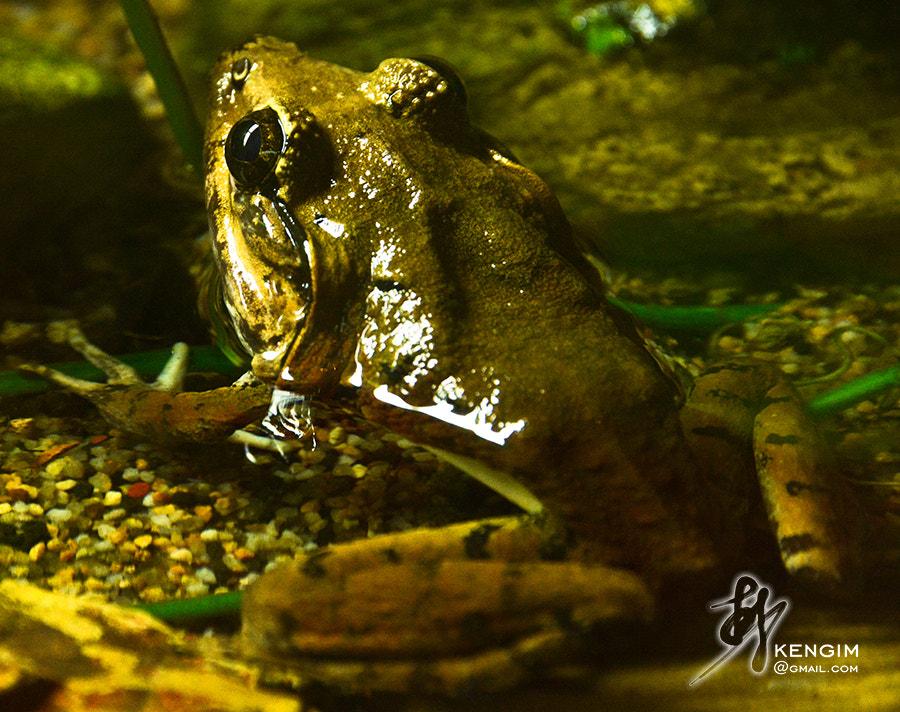 Photograph Frog by Ken Gim Seng Chye on 500px