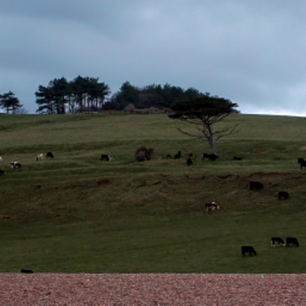 Grazing Cattle at Horizon
