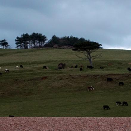 Grazing Cattle at Horizon