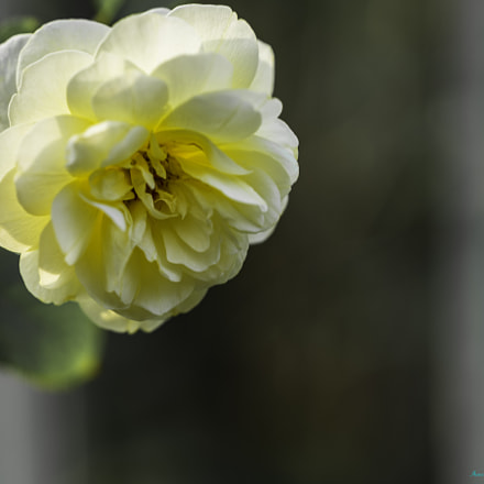 White Rose with a hint of yellow