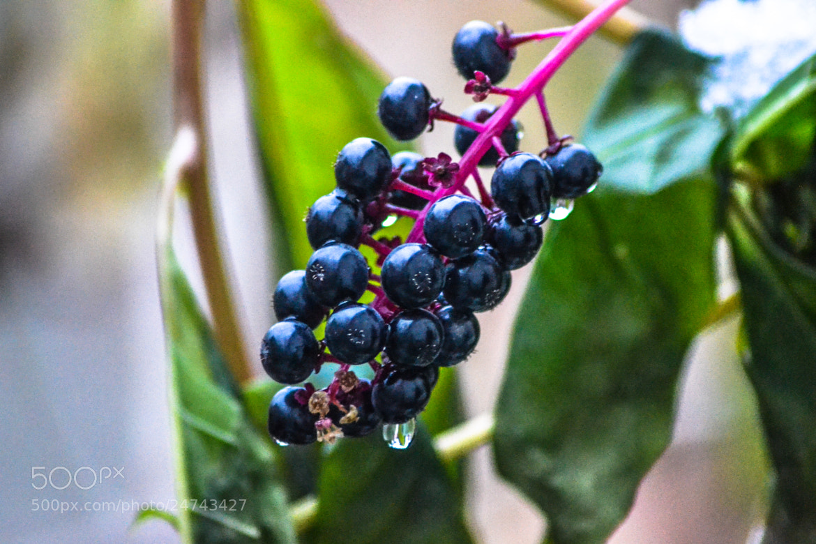 Photograph The Purple-Berries by Bogdan Balica on 500px