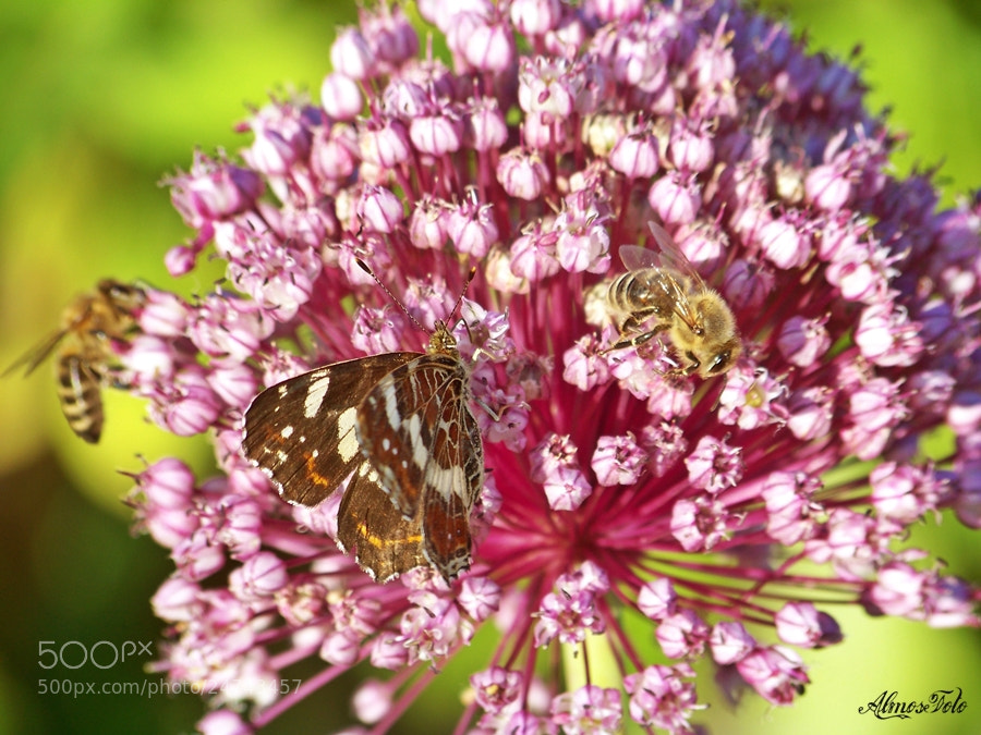 Photograph Bee and Butterfly by Alma Kerpauskiene on 500px