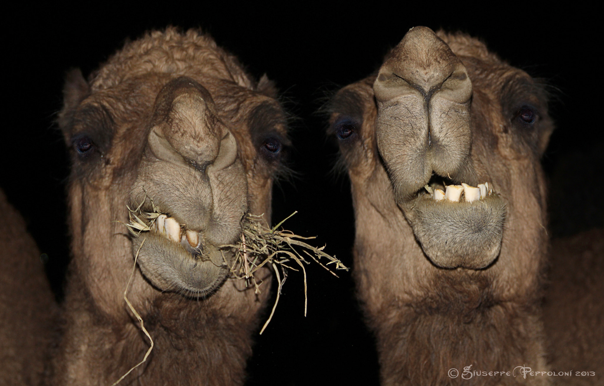 Photograph The camels by Giuseppe  Peppoloni on 500px