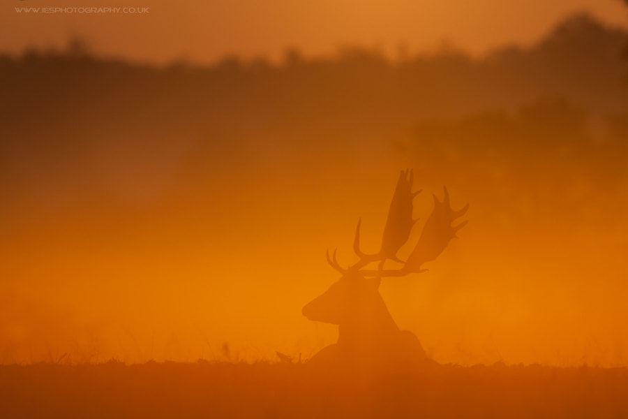 Photograph Deer Sunrise by Ian Schofield on 500px