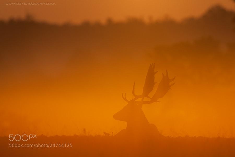 Photograph Deer Sunrise by Ian Schofield on 500px