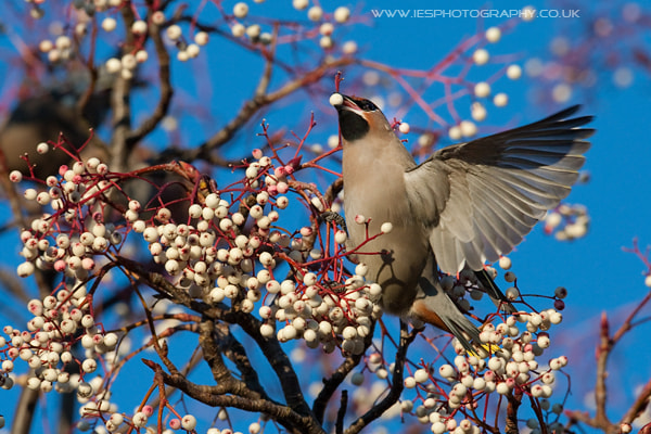 Photograph Waxwing by Ian Schofield on 500px