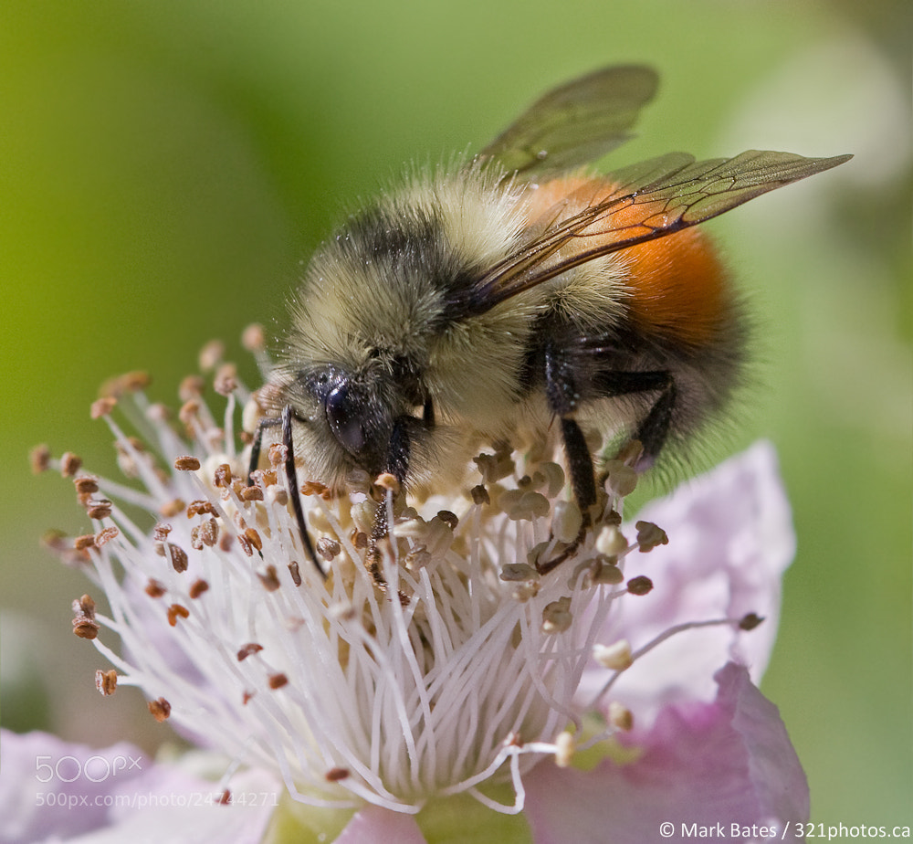 Photograph Bee Feeding by Mark Bates on 500px