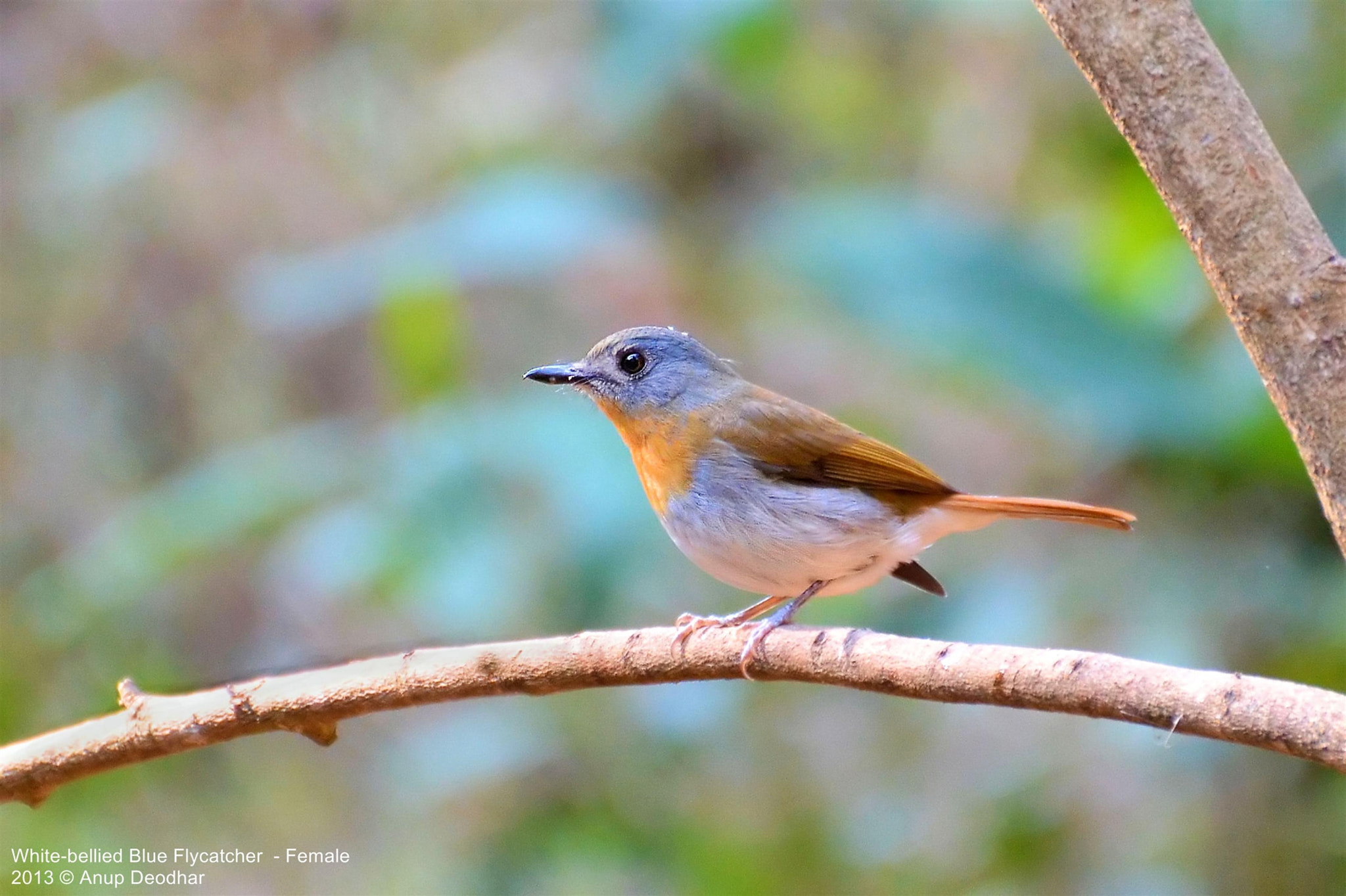 Photograph White-bellied Blue Flycatcher  - Female by Anup Deodhar on 500px